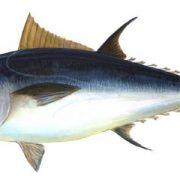 شكل_سمك_التونة